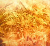 Ready for harvest - wheat field Stock Photo