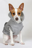 Ready for my morning run. An adorable rat terrier dressed in his sweatshirt ready for his morning walk stock photo