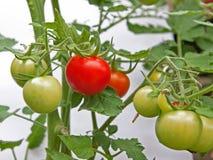 Ready Ripe Tomato (solanum lycopersicon) Royalty Free Stock Photo