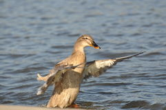 Ready for take off. A female mallard duck flapping its wings Royalty Free Stock Images