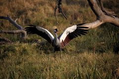 Ready for take-off. Male African crowned crane displaying full wingspread for a near-by female just before sunset in Lewa Conservancy, Kenya, Africa royalty free stock photography