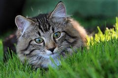 Ready to attacked. A young Norwegian forest cat is ready to attacked Stock Image
