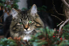 Ready to attacked. A young Norwegian forest cat is ready to attacked Royalty Free Stock Image