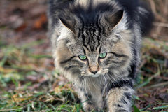 Ready to attacked. A young Norwegian forest cat is ready to attacked Stock Photo