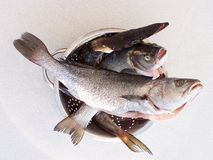 READY TO COOK. Umbra, sea bass and bowfin are very tasty fishes Royalty Free Stock Photos