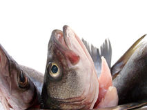 READY TO COOK. Umbra, sea bass and bowfin are very tasty fishes Royalty Free Stock Photography