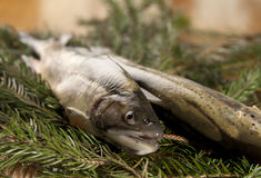 Ready to cook fresh rainbow trout Stock Image