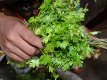 Ready to cook pudhina leaves Stock Images