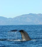 Ready to Dive 2. Whale watching in Kaikoura, New Zealand stock image