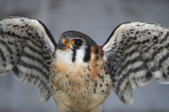 Ready To Fly. Closeup of a Kestrel against a blurred background Stock Photography