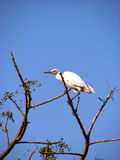 Ready to Fly. An Indian heroin species bird ready to fly Stock Photo