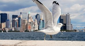 Ready to fly. Bird ready to fly in nyc Royalty Free Stock Images
