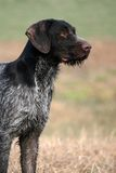 Ready to go. A deutsch drahthaar (german wirehaired pointer) ready to perform the required task Stock Photo