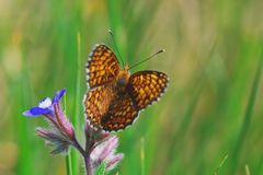 Ready To Go. Beautifull orange Nymphalidae butterfly on blue Anchusa flower stock image