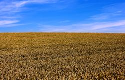 Ready to harvest. Corn field in August, ready to harvest Stock Images