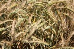 Ready to Harvest Barley. Barley plants ready for harvesting Royalty Free Stock Photos