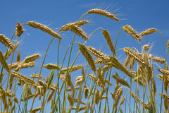 Ready to harvest. A crop of triticale against a summer sky. Triticale is a hybrid of wheat (Triticum) and rye (Secale)  typically grown for stock feed Stock Image