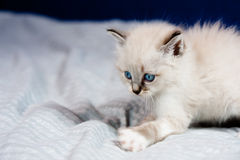 Ready to hunt. Portrait of a kitten with blue eyes, clear coat, lying on a bed sheet,ready to hunt royalty free stock photo