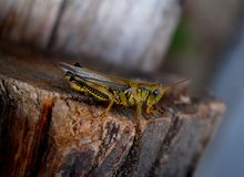Ready To Jump. A close up of a grasshopper ready to jump Royalty Free Stock Image
