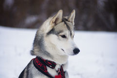 Ready to jump. Dog breed Siberian Husky Royalty Free Stock Photo