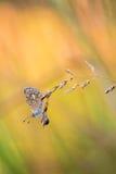 Ready to Jump - Polyommatus icarus (female) Stock Photos