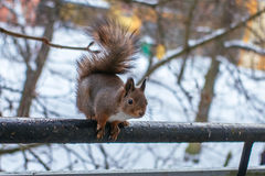 Ready to jump. Squirrel sitting at the bar and ready to jump Royalty Free Stock Photo