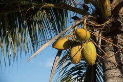 Coconuts groing on palm tree. Ready to pick coconuts growing naturaly on palm tree Stock Image