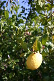 Ready to pick. A single lemon, ready to pick, hangs from the tree Royalty Free Stock Photos