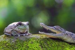 Frog, amphibians, animal, animales, animals,  animalwildlife, crocodile, dumpy, dumpyfrog, face, frog, green, macro, mammals, Royalty Free Stock Images