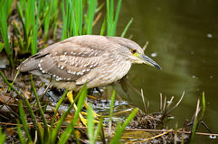 Ready to strike (Nycticorax nycticorax). Immature night heron is ready to strike Royalty Free Stock Photography