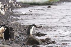 Ready to swim, adelie penguin, shoreline Stock Images