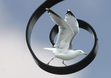 Ready to take-off. Spiral in sky, seagull ready to  take-off to freedom Stock Images