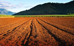 Ready and waiting. Rich earth of the ploughed canefields with a crop ready for harvest Royalty Free Stock Photo