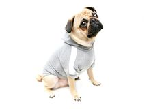 Ready For A Walk. Male Pug wearing hooded sweater.  Isolated on white Stock Images