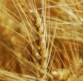 Ready wheat. Stock Image