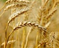 Ready wheat. Stock Photo