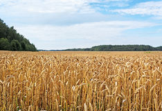 Ready wheat`s field. Stock Images