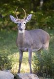 Ready for winter. Whitetail buck with his gray winter coat on royalty free stock image