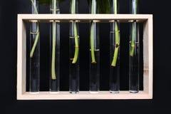 Reagenzröhrchenvasen im Holzrahmen mit den Betriebsstammausschnitten, die auf das Wurzeln während der Ausbreitung auf dunklem Hin stockbilder