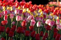 reaguje na tulipany Fotografia Royalty Free