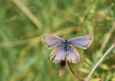 Reakirts blåa fjäril (den Echinargus isolaen) Royaltyfria Foton