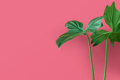 Realów liście na pastelowego koloru tle Botaniczny tropikalny Obrazy Stock