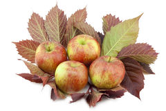 Real apples on  leaves Royalty Free Stock Image