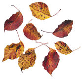 Real autumn leaves on white background Royalty Free Stock Images