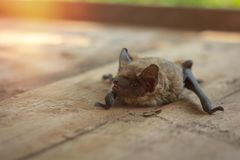 A real bat in nature royalty free stock image