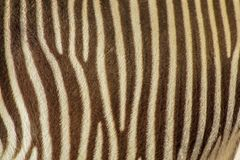 Focus on real Zebra stripes royalty free stock images