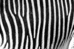 Focus on real Zebra stripes royalty free stock photos