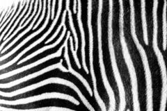 Focus on real Zebra stripes royalty free stock photo