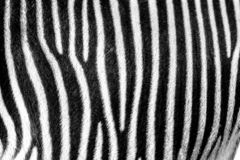 Focus on real Zebra stripes stock image