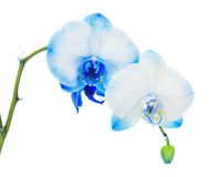 Real blue orchid arrangement centerpiece isolated on white Royalty Free Stock Images